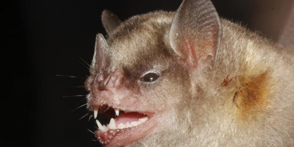 Bat flu virus may be capable of infecting human cells