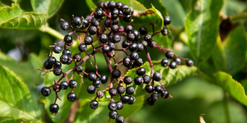 How elderberries can help you fight the flu