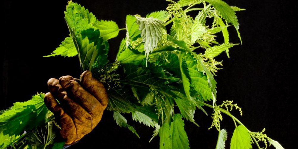 Stinging nettles: A new approach to cancer