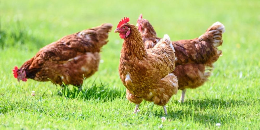 What to know about chicken allergies