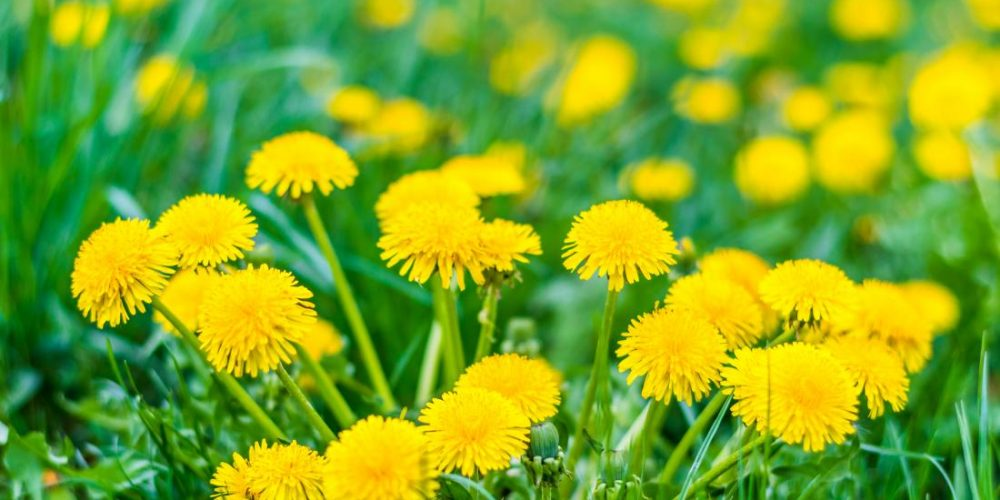10 health benefits of dandelion