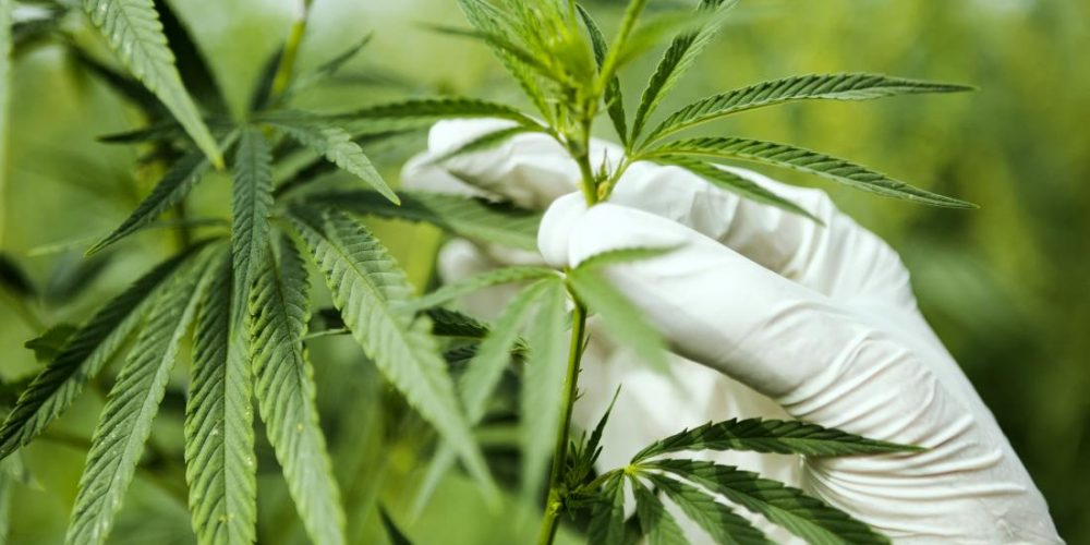 Cannabis and the brain: Recent studies shed new light