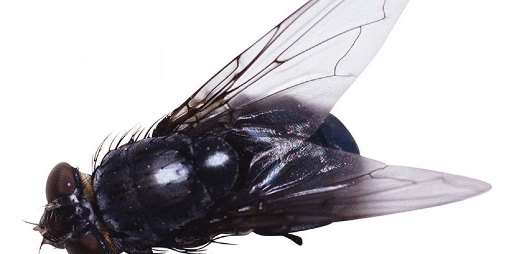 Flying Insects in Hospitals Carry 'Superbug' Germs