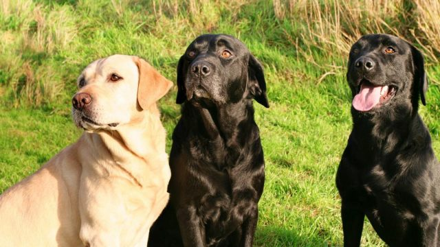 New research finds better way of calculating dogs' real ages