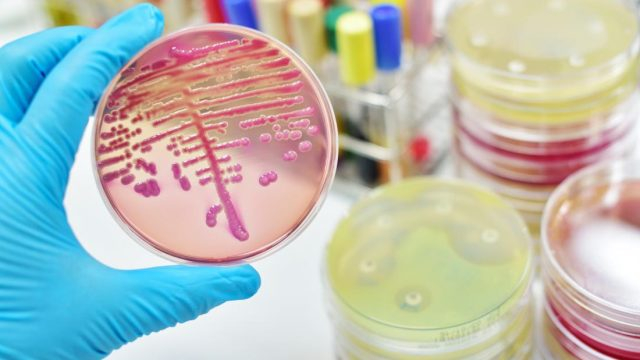 Targeting one gut bacterium may treat alcoholic liver disease