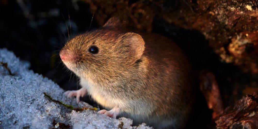 Common fire retardant makes prairie voles anxious, less social
