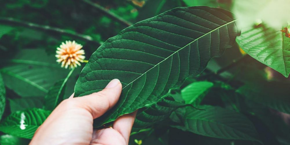 Kratom: Everything you need to know