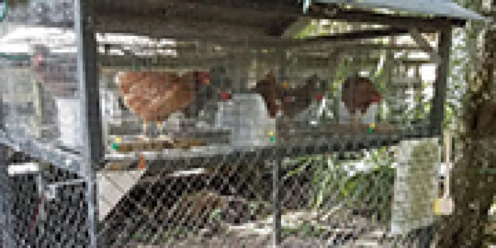 Chickens Help Scientists Pinpoint Origin of Rare, Deadly Virus