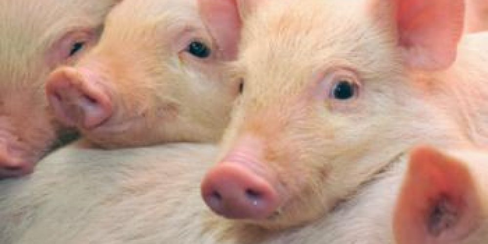 New swine flu epidemic could rise from rapidly evolving virus in pigs