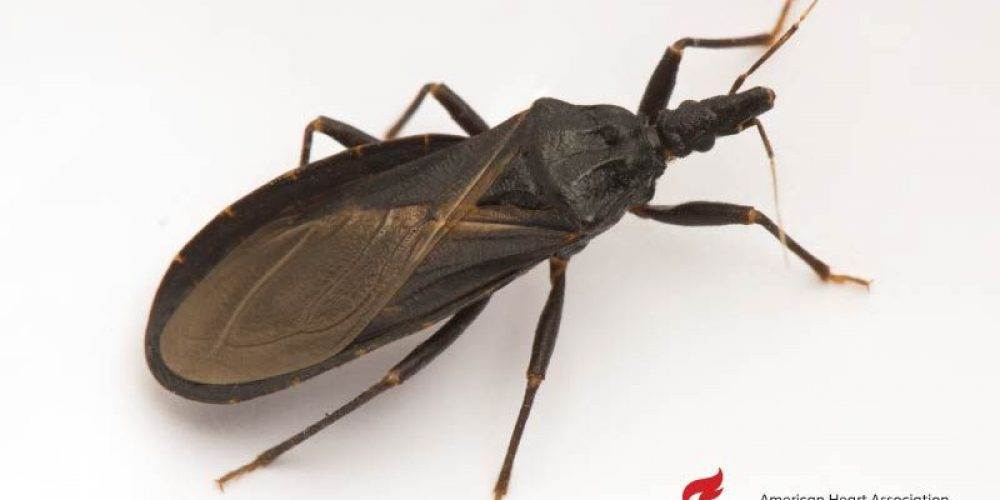 AHA News: Should You Be Worried About Blood-Hungry 'Kissing Bugs'?