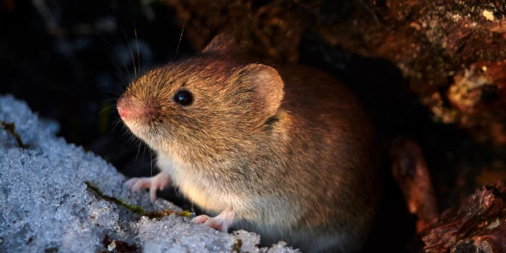 Common fire retardant makes prairie voles anxious, less social
