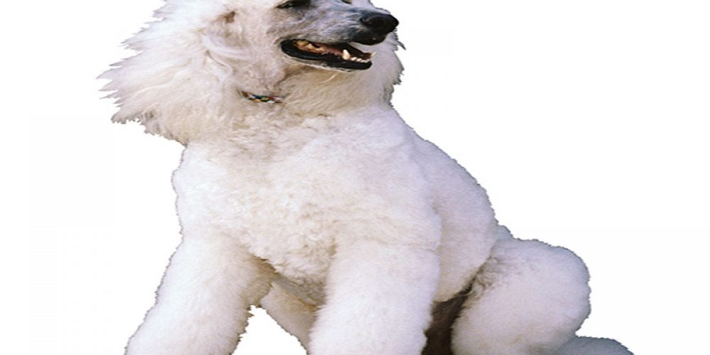 A 'Hypoallergenic' Dog? You May Be Barking Up the Wrong Tree