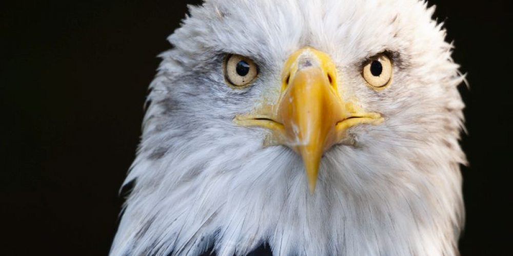 Bald Eagles Across U.S. Infected With Newly Identified Virus