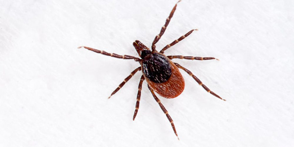 Everything You Need to Know About Lyme Disease