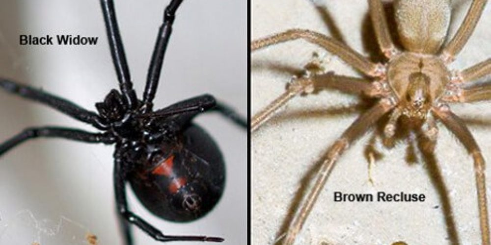Spider Bites (Black Widow and Brown Recluse)