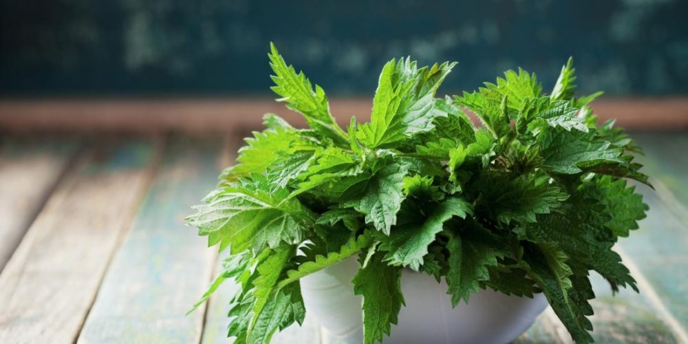 What are the benefits and uses of stinging nettle?
