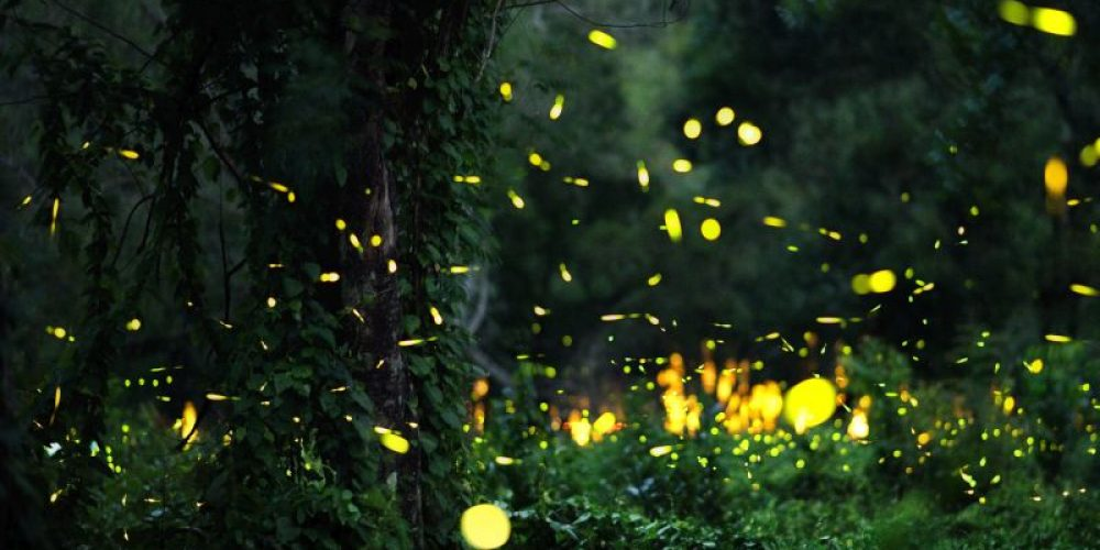 Will the Lights of Fireflies Be Extinguished?