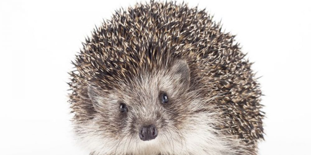 CDC Warns Again of Salmonella From Pet Hedgehogs
