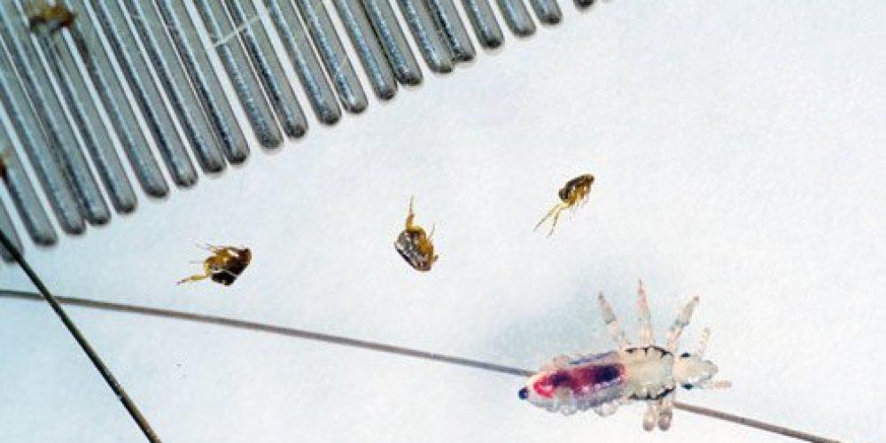 Lice vs. Fleas