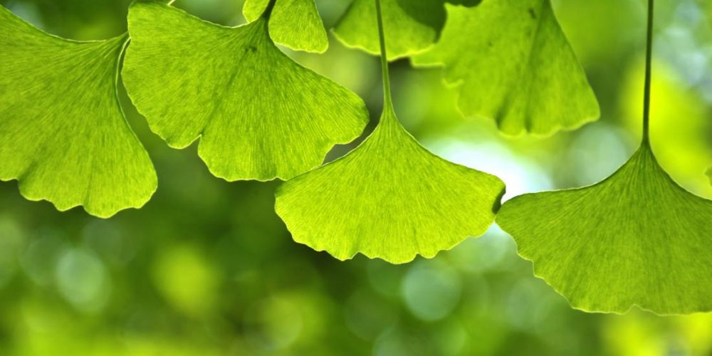 Ginkgo seeds may help keep skin blemish-free, but there's a catch