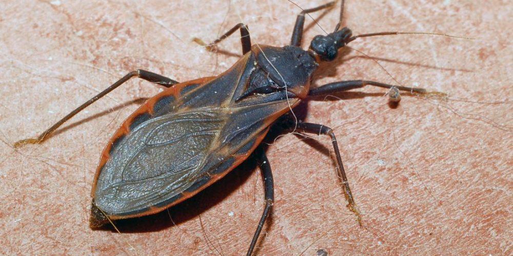 Kissing bug bites: Symptoms, risks, and treatments