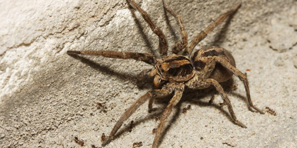 What does a wolf spider bite look like? Is it dangerous?