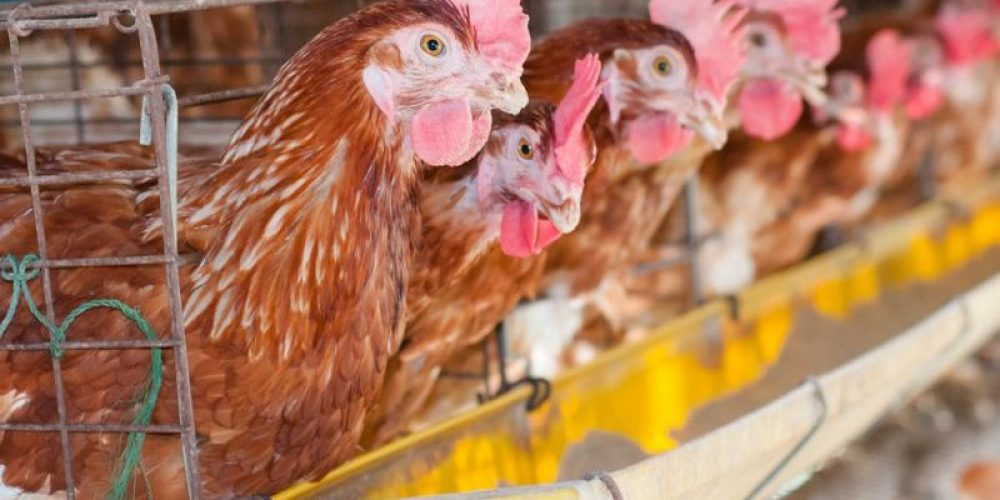 Organic Chicken Less Likely to Harbor a Dangerous 'Superbug'