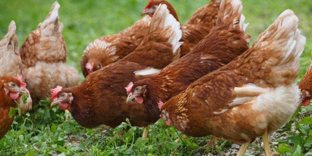 What to know about free-range eggs