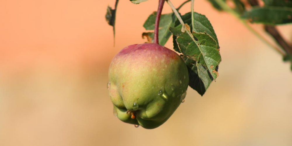Are apple bacteria good or bad? It depends on the apple