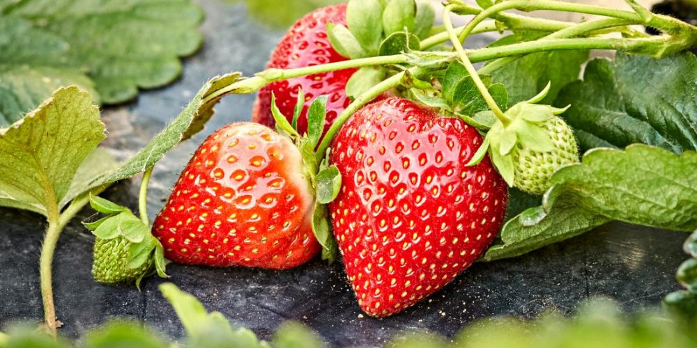 Can people be allergic to strawberries?