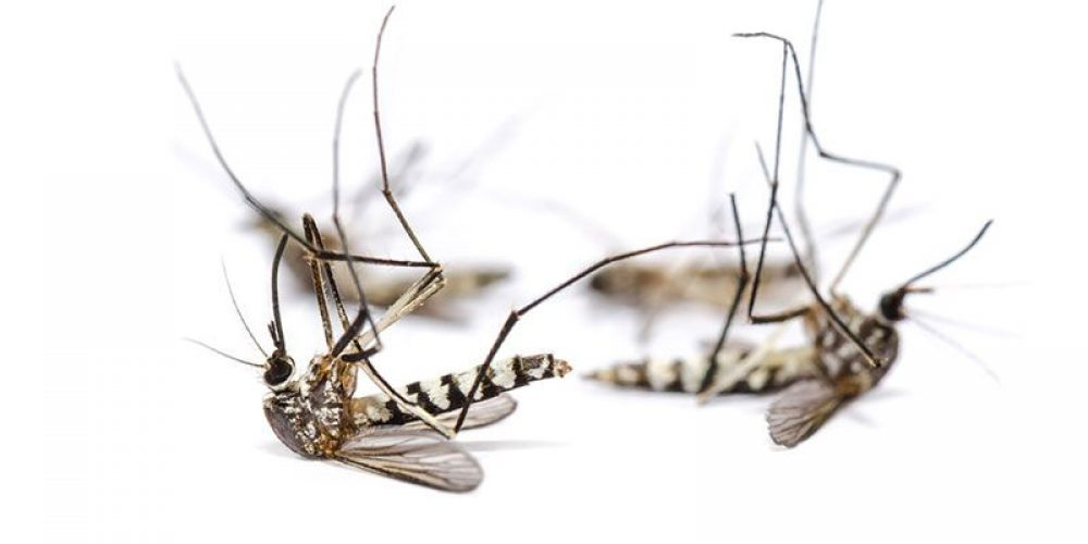 Chinese Scientists Cut Local Numbers of Dangerous Mosquito by 94%
