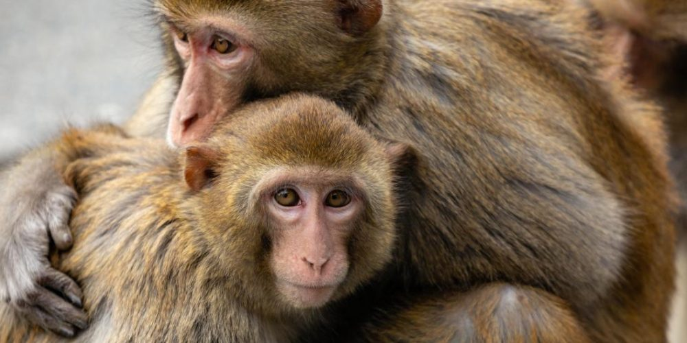 Monkeys: Past social stress impacts genes, health