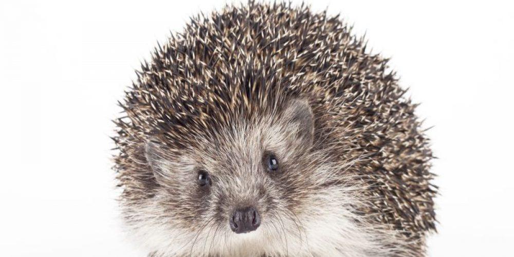 Pet Hedgehogs Still Spreading Salmonella, CDC Warns